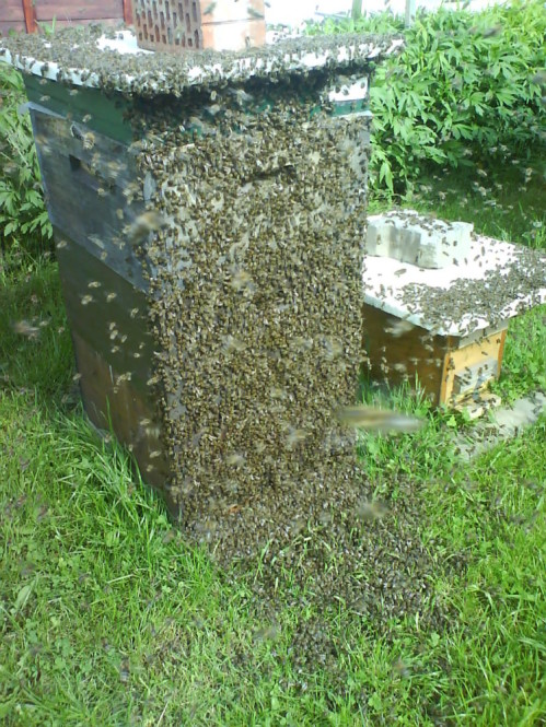 Bienenschwarm an Beute